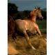 Galoppierender brauner Araber - Magie der Pferde
