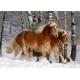 Galoppierende Haflinger - Magie der Pferde
