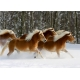 Haflingers Herde - Magie der Pferde