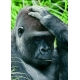 Gorilla - Nicht der schon wieder