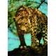 Leopard - Auf dem Sprung