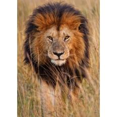 Löwe in der Steppe