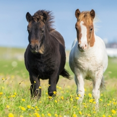 Liebe Pferde