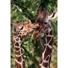 Giraffen - Artis Zoo