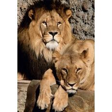 Löwen - Artis Zoo